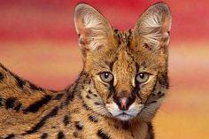Serval - cool, serval
