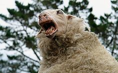 """Zombie sheep apocalypse. Amusing horror/comedy released around the same time as Shaun Of The Dead. It's called. """"Black Sheep."""""""