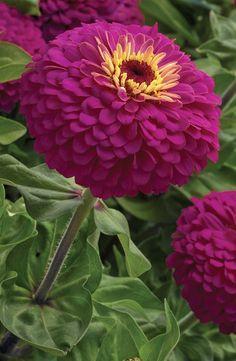 Uproar Rose hybrid Zinnia
