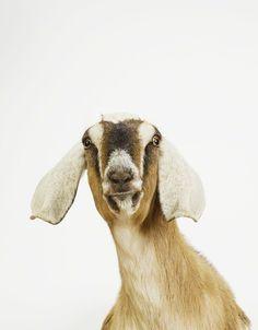Nubian Goat No. 2 you're No. 1 in my heart / Sharon Montrose Animal Print Shop Wildlife Photography, Animal Photography, Farm Animals, Cute Animals, Funny Animals, Animal Print Shop, Animal Prints, Nubian Goat, Pet Photographer