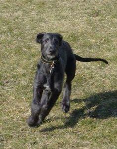Scottish Deerhound Breed Information: History, Health, Pictures ...