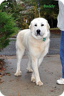 10/17/14 Winston-Salem, NC - Great Pyrenees. Meet Buddy, a dog for adoption. http://www.adoptapet.com/pet/11759973-winston-salem-north-carolina-great-pyrenees