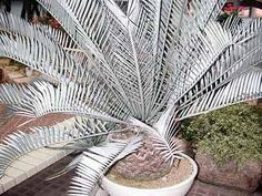 Encephalartos lehmannii: A rare South African plant and estimated value is R60 a cm