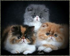Persian kittens How lovely! 10 years ago I went out to get a kitty and I came across a group of 3 Persians very much like this, except one was totally white. He is still with me today. The other 2 sadly have gone to greener pastures.