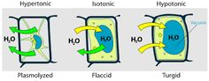 Turgor pressure on plant cells diagram - Osmosis - Wikipedia, the free… Plant Cell Organelles, Plant Cell Diagram, Osmotic Pressure, Argumentative Essay Topics, 7th Grade Science, Biology Lessons, Biology Teacher, Cell Structure, Force And Motion