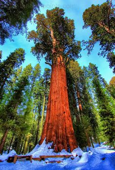 The General Sherman Tree, Sequoia Nation Park ...notice the person standing next to the tree at the bottom