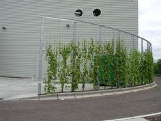 green wall. Cool, pretty vine, but I would suggest bamboo, grows straight, and fast!!♥