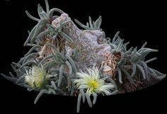 Phyllobolus resurgens della famiglia delle Aizoacee
