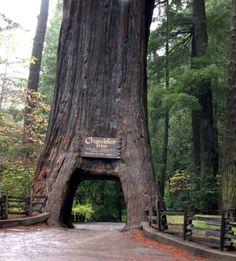Drive thru tree in Leggett, CA