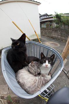 Cats in a bike's basket.