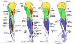 Always Guilty., helpyoudraw: Anatomy - Human Arm...