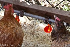 Jeffrey gives water to his chickens with these chicken waterer cups that gives clean fresh water without wasting it. Backyard Farming, Chickens Backyard, Chicken Waterer, Farming Ideas, Urban Farmer, Coops, Beautiful Gardens, Fresh Water, Hens