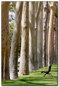 Autumn is here. Lemon-scented gums in Kings Park, Perth, Australia. I love sitting on that bench. Perth Western Australia, Australia Travel, Land Of Oz, The Good Place, Beautiful Places, Scenery, Places To Visit, Around The Worlds, Kings Park Perth