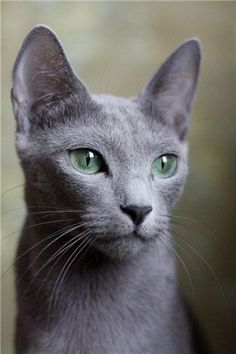 Russian Blue I want one. Since I'm Russian and all and love cats. #RussianBlueCat