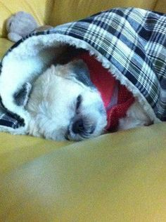 My tzu loves to sleep under the covers too!