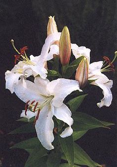White Stargazer' is the most popular of the white upright lilies and used by many for forcing. Description from rainyside.com. I searched for this on bing.com/images