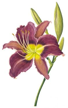 Hemerocallis Chicago Princess - Watercolour by Christine Stephenson - Botanical Artist Watercolor Disney, Watercolor Flowers, Watercolour Paintings, Beautiful Flowers Garden, Amazing Flowers, Botanical Drawings, Botanical Illustration, Botanical Flowers, Botanical Prints