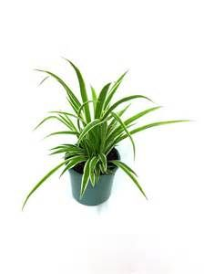 Spider plants are a classic, usually green and white variegated houseplant that perform well in fluorescent light to bright indirect light. They like to dry out between watering and are a clean air plant. Buy one today at gardengoodsdirect.com!