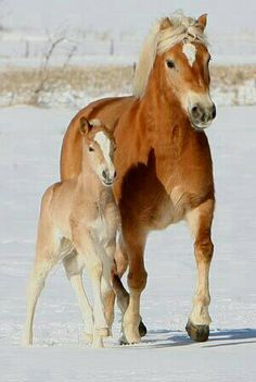 Gorgeous Haflinger mare and foal.