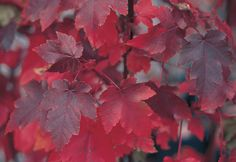 With leaves that turn shades of purple to scarlet, October Glory Maple is, well, one of the glories of fall. Learn how to identify, plant and prune trees like maples in this story featured on The Home Depot's Garden Club.