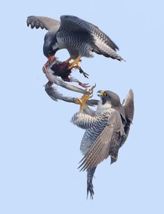 Birds ©: A pair of Peregrine Falcons either fighting over or sharing a meal in midair. Love Birds, Beautiful Birds, Animals Beautiful, Exotic Birds, Colorful Birds, Nature Animals, Animals And Pets, Eagle Animals, Rapace Diurne