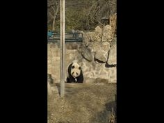 panda itching on @gfycat #funny #cute #animals
