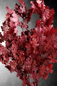 "Natural Preserved Fall Leaves Red Black Oak 24"" (4-6 Branches) $4.99 bundle/ 3 bundles for $4 each"