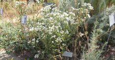 A blog about water-wise and life-friendly gardening using California native plants.