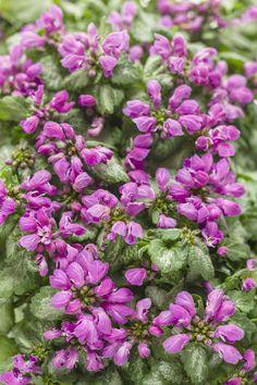 Purple+Chablis™+-+Dead+Nettle+-+Lamium+maculatum