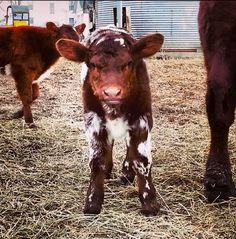 Adorable Shorthorn Calf Farm Animals, Animals And Pets, Cute Animals, Cow Pictures, Animal Pictures, Cows Mooing, Sweet Cow, Fluffy Cows, Show Cattle