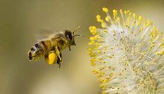 verbod op neonicotinoïden moet bijensterfte tegengaan | Achtergrond | Biologie, Economie, Scheikunde | bijensterfte, landbouw, europese unie...