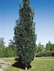 QuercusRobur-Fastigiata-72d6p-98965151BX