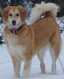 """Se denomina perro mestizo al perro sin pedigrí, cuya ascendencia es generalmente desconocida, que tiene características de dos o más tipos de razas, o es descendiente de poblaciones de perros salvajes o callejeros. """"Raza aleatoria"""
