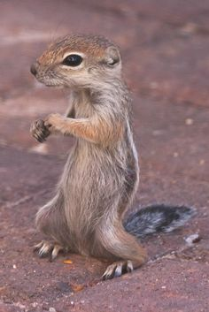Kung Fu Fighting | Antelope Ground Squirrel. Henderson, Nevada (pinned by haw-creek.com)