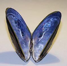 blue_mussel_100_2581.jpg 400×392 像素