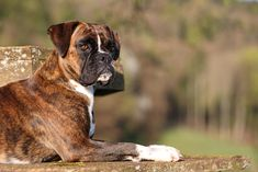 Dog Breeds List, Cute Dogs Breeds, Beautiful Horse Pictures, Beautiful Horses, Boxer Americano, Dog Cruelty, Forever Puppy, German Dog Breeds, Cutest Puppy Ever