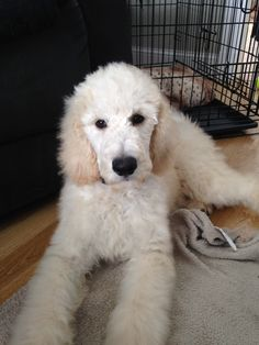 So lucky to have found this little guy. Odie the creme caramel standard poodle puppy.