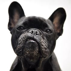 """Elvis french bulldog - """"I ain't nothin' but a hound dog...well, really I'm a French bulldog but I love impersonating Elvis!""""  Tee hee hee!  I know that's what he's saying!"""