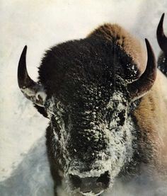 Don't laugh, but someday, I'll have my very own Buffalo. Please just accept me the way I am and move on. American Bison, Native American Art, Wild Creatures, Woodland Creatures, Musk Ox, Wild Animals Photos, Mule Deer, Animal Totems, Wild Child