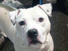 "TO BE DESTROYED - 01/06/14  Brooklyn Center **NEW PHOTO**   My name is SPIKE. My Animal ID # is A0985284. Male white and black pit bull mix. 1 YR 8 MTHS old. STRAY on 11/18/2013 from NY  Volunteer says ""He is a good boy, he was easy to walk and didn't give me any problems. He is super cute and smaller than I would have thought based on this picture. "" Spike is dreaming of his forever home where he can share his life & unconditional love with you!"