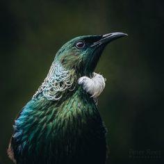 Portrait of a New Zealand native Tui taken by Peter Rees Pretty Birds, Beautiful Birds, Tui Bird, Zealand Tattoo, Nz Art, Maori Art, Kiwiana, Bird Pictures, Little Birds