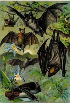 Amazing Spooky Matted Antique Bat Print C. 1890  Vampire German Chromolithograph