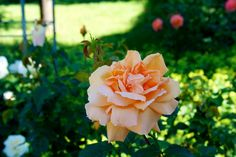Rose  #Deutschland #Germany #Europa #Flowers #Blumen #Natur #Nature #Flickr #Foto #Photo #Fotografie #Photography #canon #Travel #Reisen #德國 #照片 #出差旅行