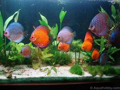 aquariums for discus fish | December '11 - Paulo Freitas's 576 L Discus Aquarium. (Brazil)