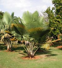 Bailey's Copernicia palm  ~  a rare palm    One of the best!!  This pic is of a baby...they grow to be upwards of 60 feet : )