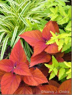 Coleus 'Sedona' with Caryopteris 'Jason' [Sunshine Blue] and Liriope muscari 'Variegata'; Nancy J. Ondra at Hayefield