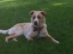 Doug is an adoptable Labrador Retriever Dog in Minneapolis, MN.  Good with kids Good with dogs Good with cats Housebroken Doug is great with kids, cats, dogs, house trained, and he rarely barks. He...