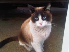 #Snowshoe #Kittens for sale in any US state
