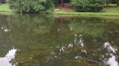 (704) 816-0526 - Aquatic Weed Pond & Lake Management in Hillsbrook HOA Spartanburg SC - (864) 381-7663