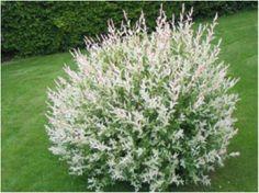 Salix integra 'Hakura-Nishiki'